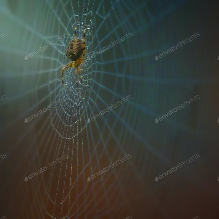 Garden Cross Spider on web with dew drops, close up.
