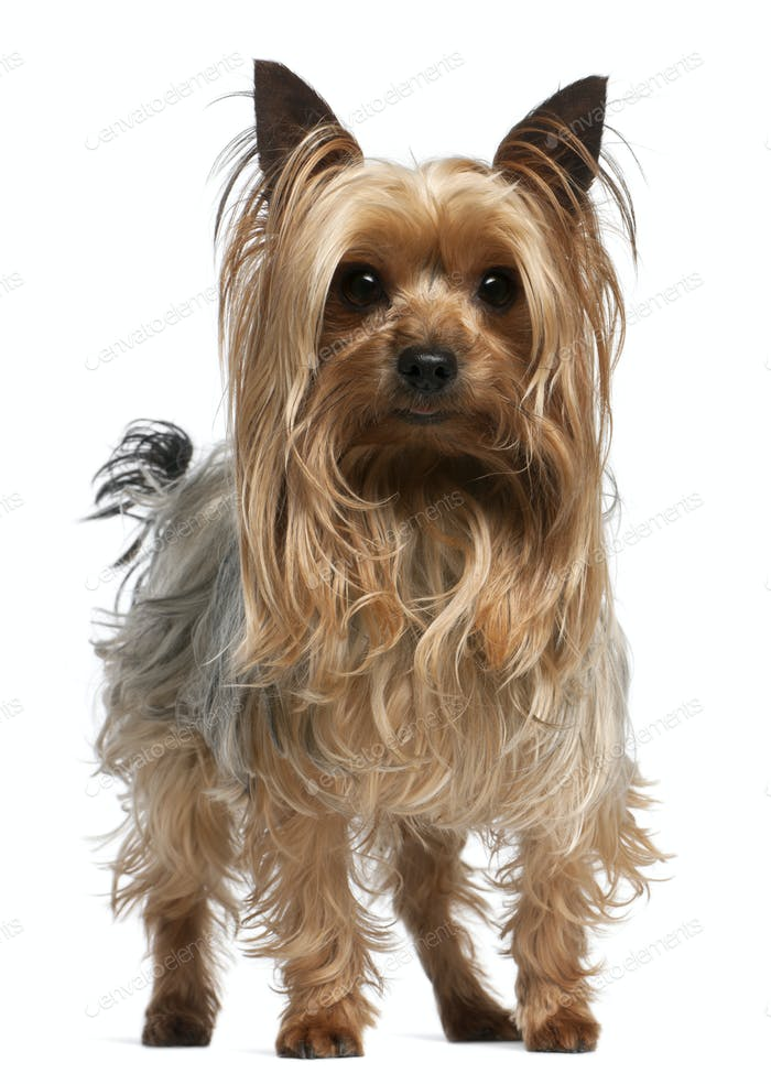 Yorkshire Terrier, 3 years old, standing in front of white background