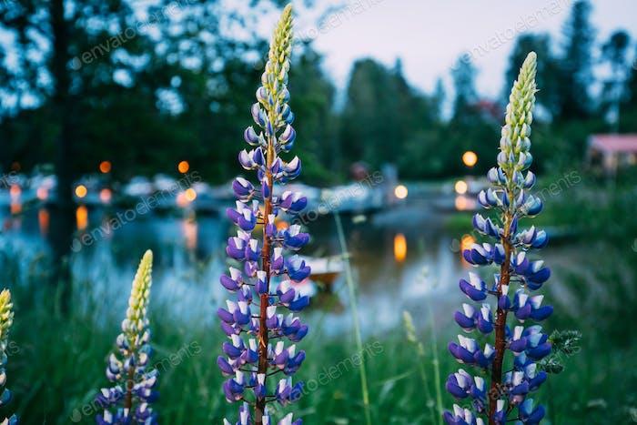 Wilde Blumen Lupine In Sommerwiese In Der Nähe des Sees Am Abend Nacht. Lupinus, allgemein bekannt als Lupin oder