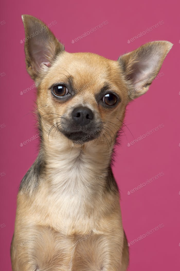 Close-up of Chihuahua, 12 months old, in front of pink background