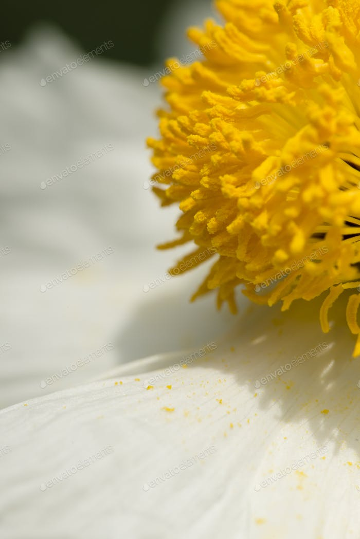 Closeup of white Romneya coulteri flower