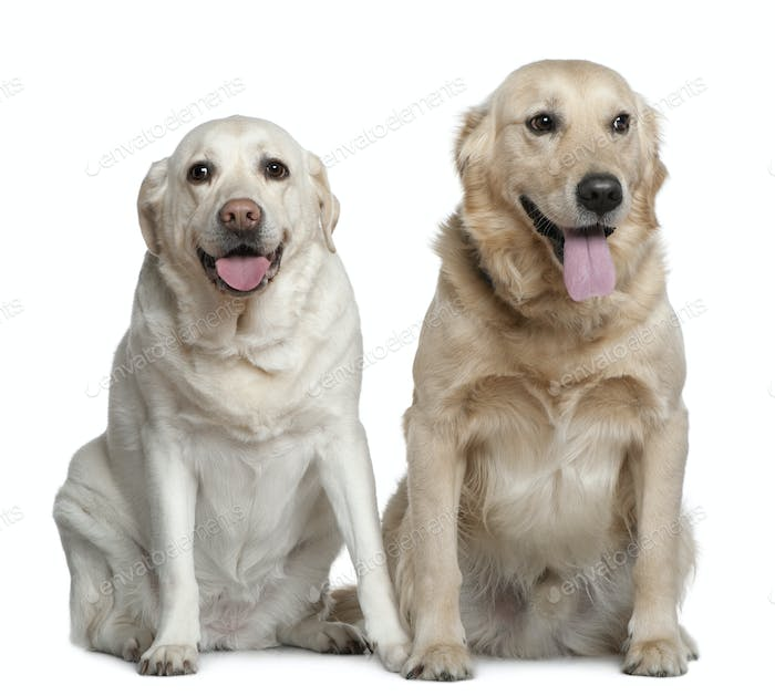 Two Labrador retrievers, 4 years old, sitting in front of white background