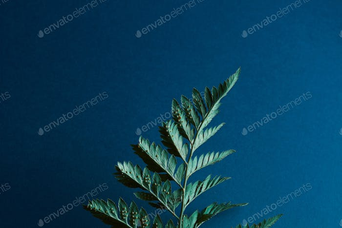 Back side of a fern with spores on a dark blue background with space for text. Natural layout. Flat