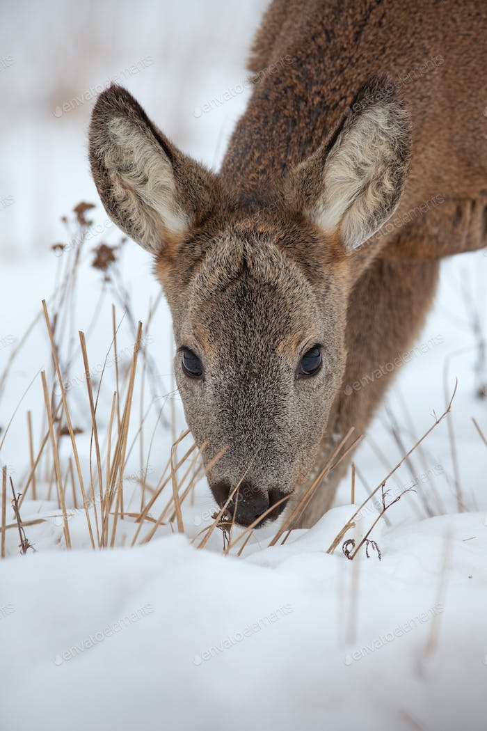 Hungry roe deer, capreolus capreolus, starving in deep snow in winter