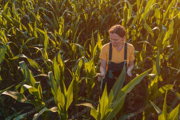 Agronomist woman using tablet computer in corn field