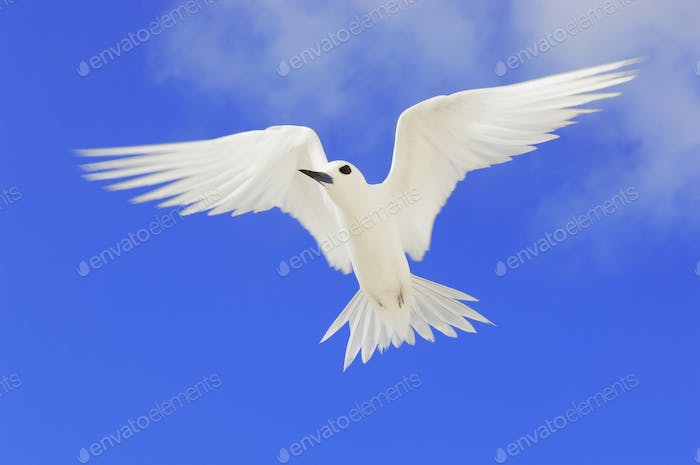 Fairy tern in flight, Gygis alba, Tern Island, Hawaiian Leeward Islands