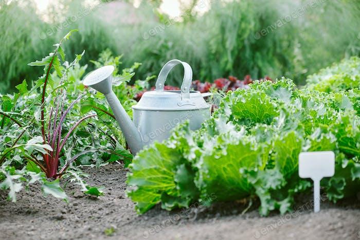 Grüne Salate. Gartenhintergrund mit verschiedenen Salat