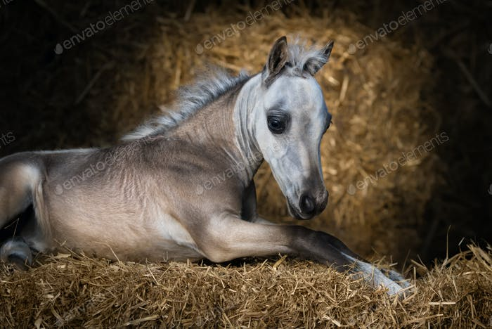 American Miniature Horse. Dun foal lying on straw.