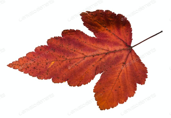 autumn leaf of viburnum tree isolated on white