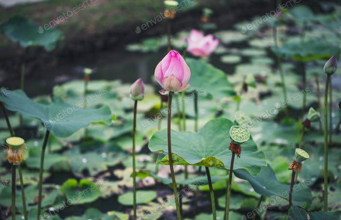 Beautiful waterlily or lotus flower with water surface