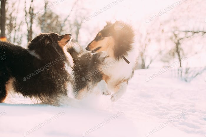 Funny Tricolor Rough Collie, Scottish Collie, English Collie, La