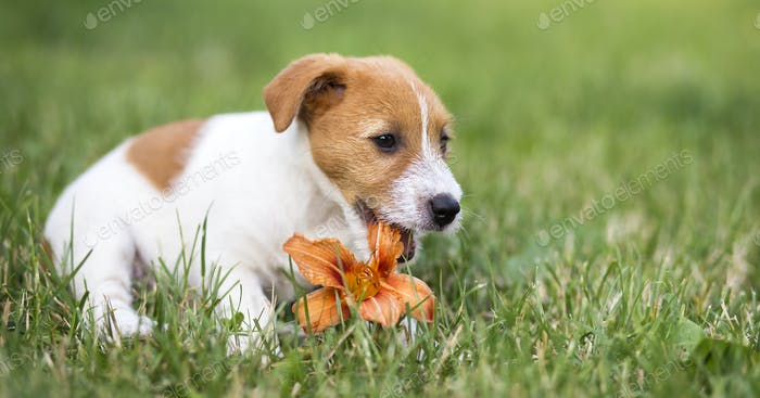 Pet dog happy puppy chewing a flower - web banner idea