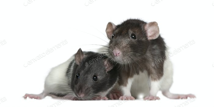 Rats, 9 and 3 months old, in front of white background