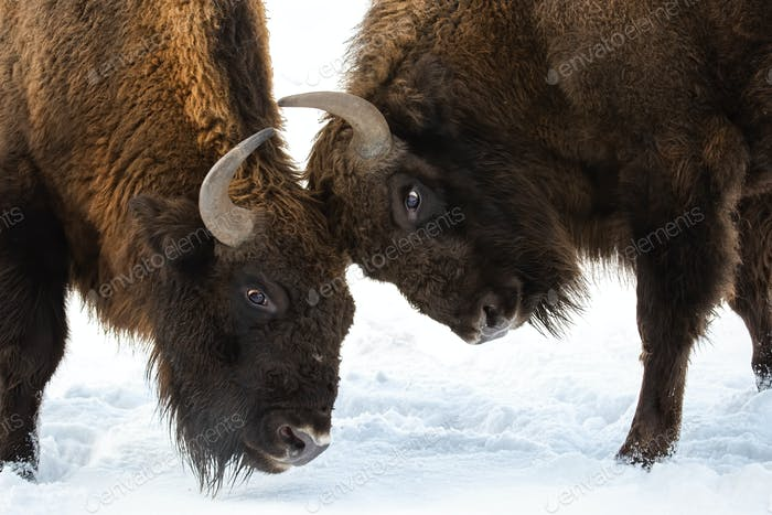 Close-up of two European bison males fighting over territory