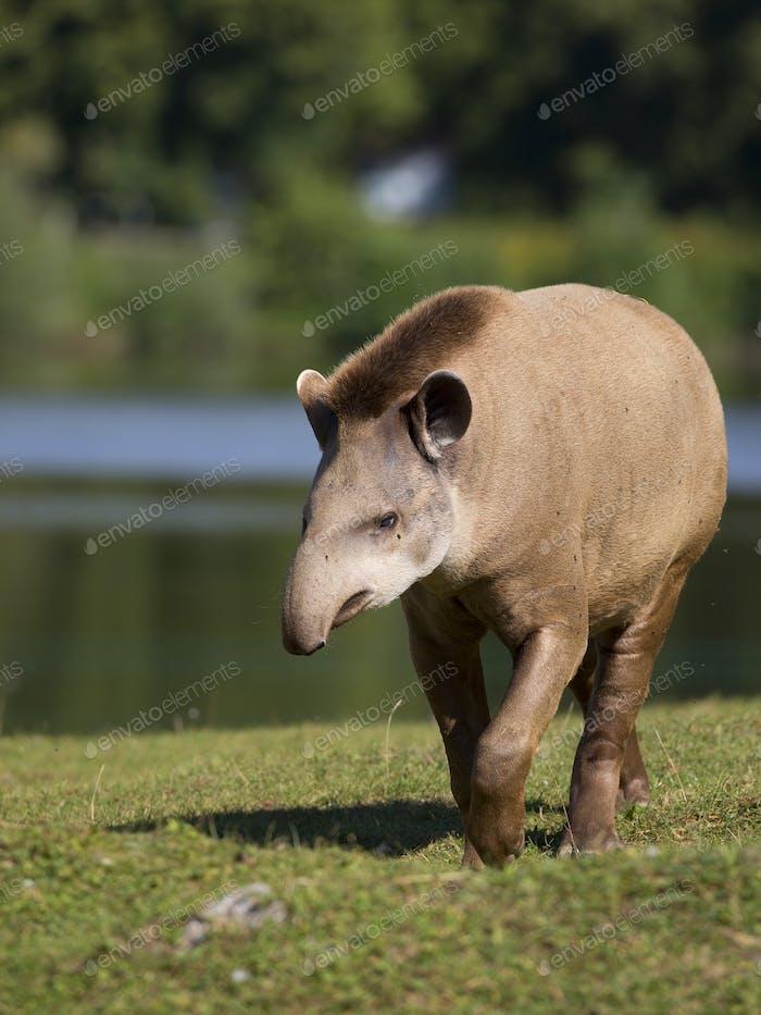 Tapir in a clearing