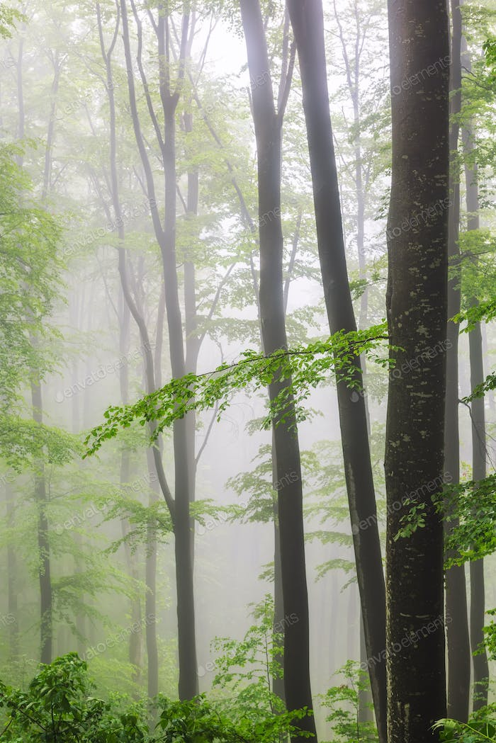 Morning fog in a spring forest