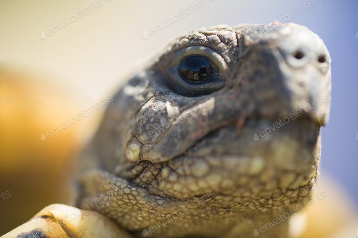 Testudo hermanni tortoise head