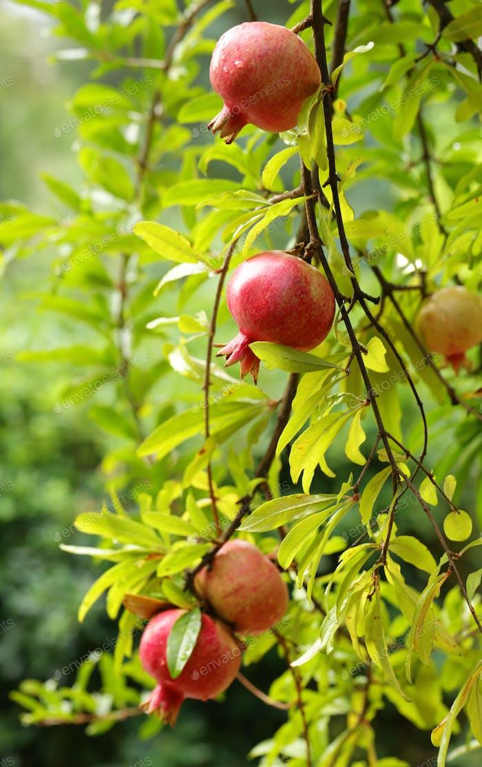 Natural Fruit Pomegranates
