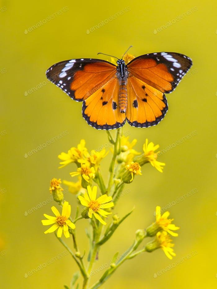 Plain tiger butterfly catching sunlight