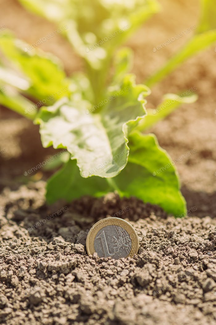 Sugar beet cultivation profit, conceptual image with euro coin and crops in field