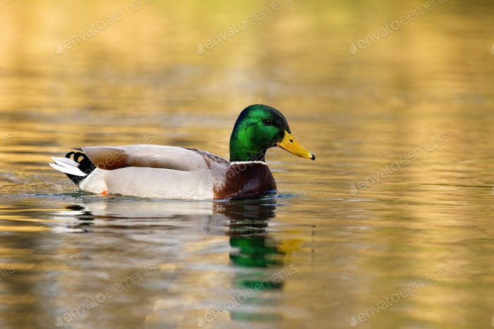 Mallard male floating on water in winter nature