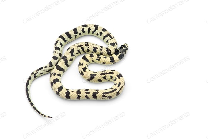 White-black King snake isolated on white background
