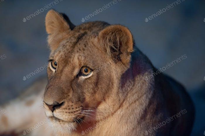 Junger Löwe Nahaufnahme