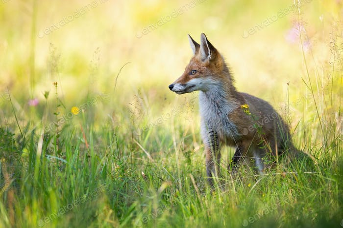 Red fox looking aside in summer on green meadow with copy space