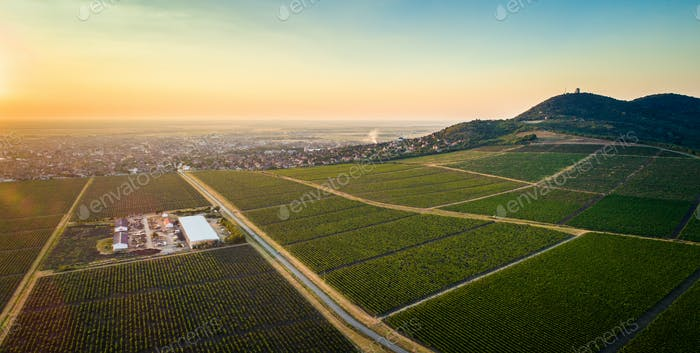 Beautiful grapevine field(vineyard) beneath hill in sunset. Hori