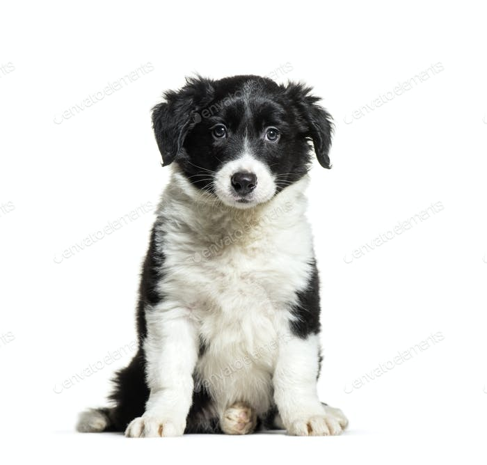 Border Collie, 9 weeks old, sitting in front of white background