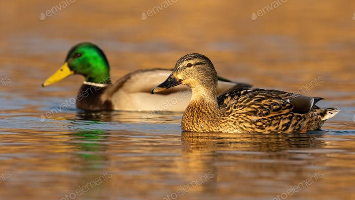 Two mallards swimming in water in autumn nature