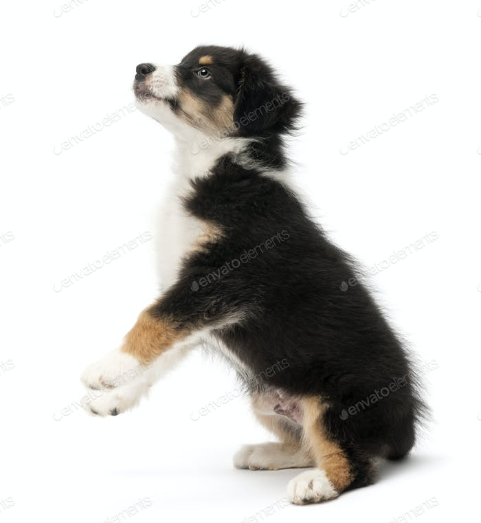 Australian Shepherd puppy, 2 months old, standing on hind legs