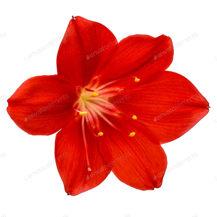 Red flower of Clivia, closeup, isolated on white background