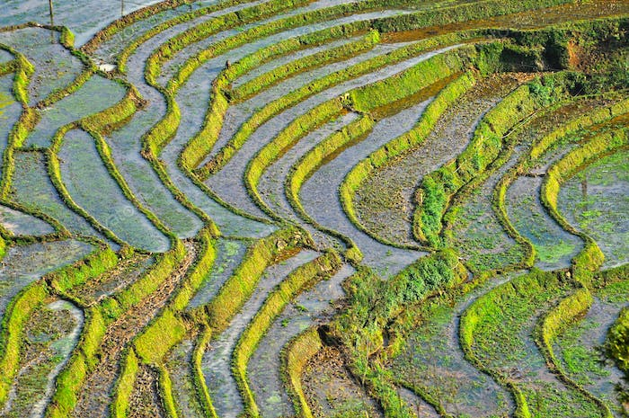 Terraced rice field in Cat Cat, Sa Pa, Northern Vietnam