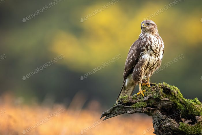 Common buzzard sitting on branch in summer with copy space