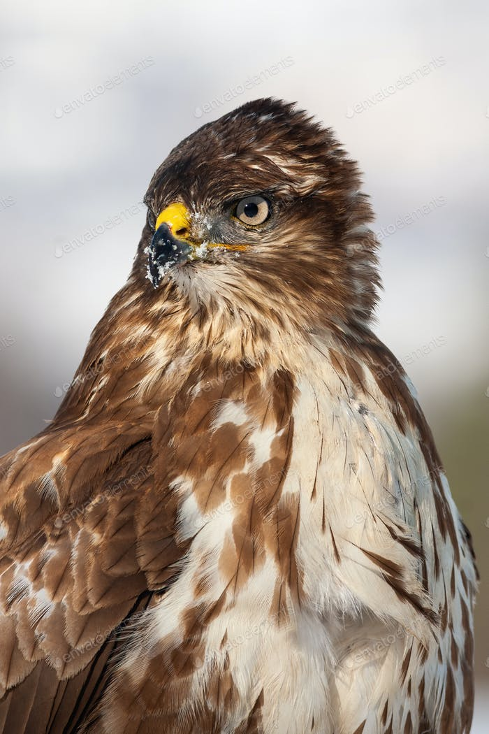 Thumbnail for Vertical close-up portrait of a wild common buzzard in wintertime