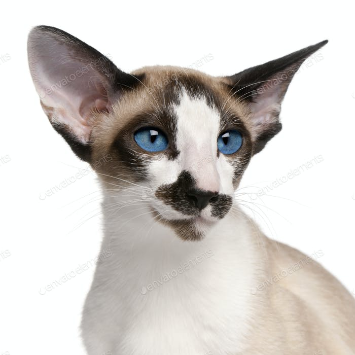 Siamese cat, 7 months old, headshot in front of white background