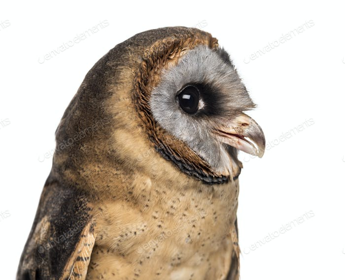 Close-up of an Ashy-faced owl (Tyto glaucops) in front of a white background