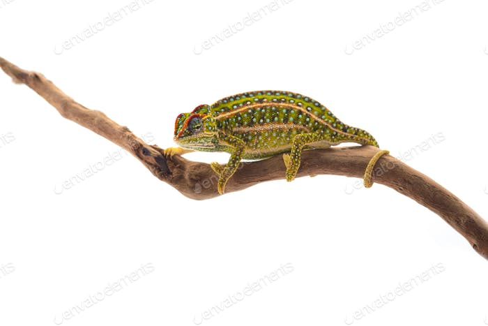 The carpet chameleon isolated on white background