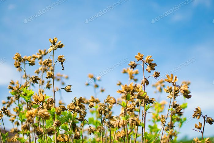 Dry Flowers and Clear Sky