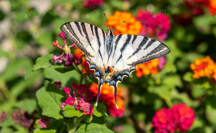 Butterfly on lantana red orange color flowers background