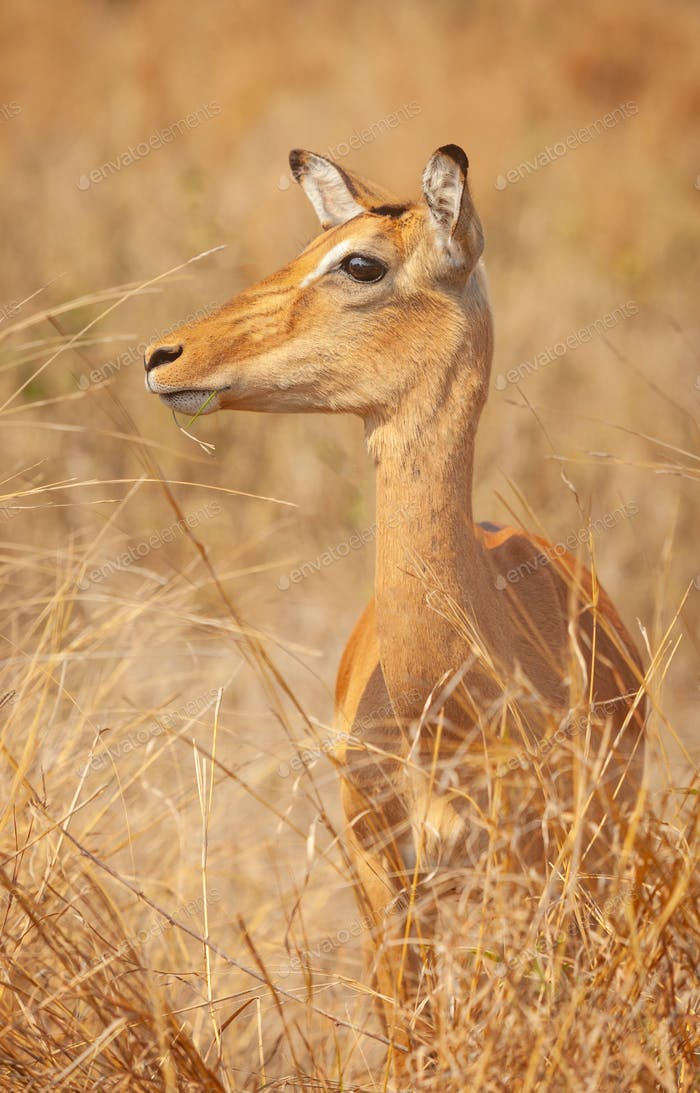 An Impala Ewe in Kruger Park