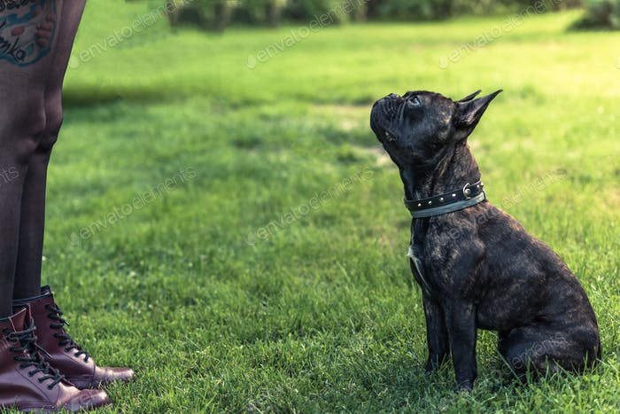 Young female teaching French Bulldog obiedence