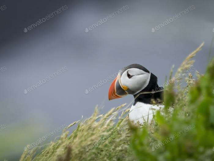 A puffin on the cliffs of Dyrholaey.