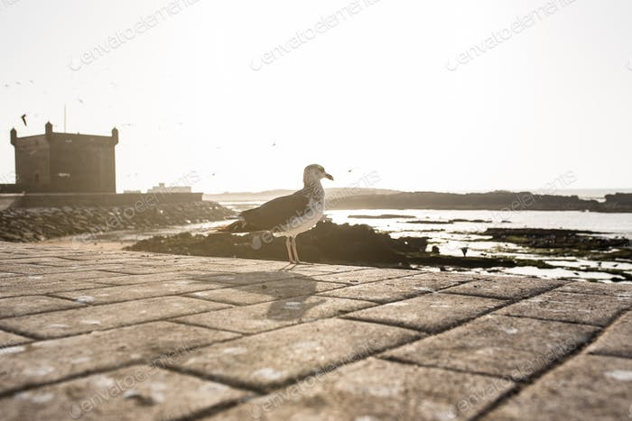Seagull birds at a fort castle tower in Essaouira