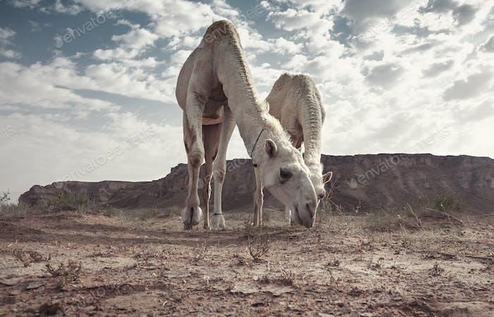 Camels in the desert of Saudi Arabia