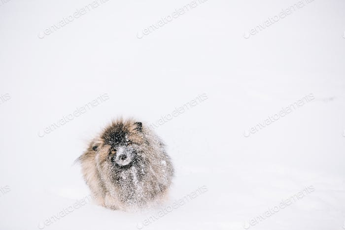 Young Keeshond, Keeshonden Dog Play In Snow, Winter