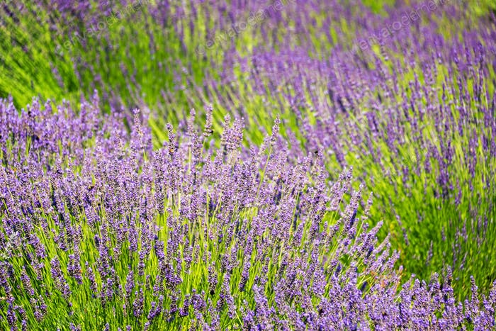 Lavender Flower Closeup