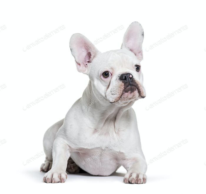 French Bulldog, 8 months old, lying in front of white background