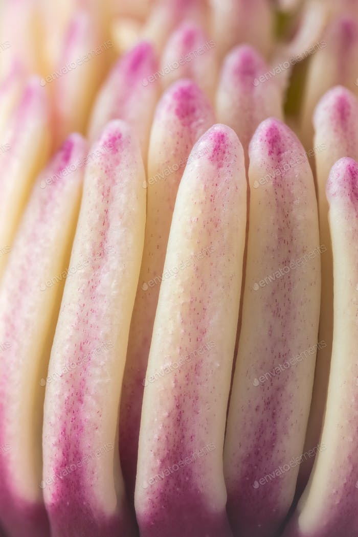 plant detail of magnolia pistil